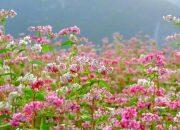 Không cần tới Hà Giang bạn vẫn có thể ngắm hoa tam giác mạch đẹp tại những địa điểm này